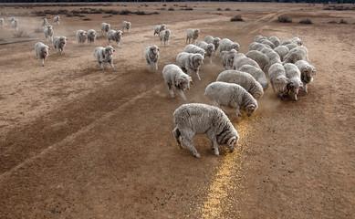 Wall Mural - sheep feeding