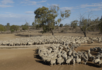 Wall Mural - sheep mustering