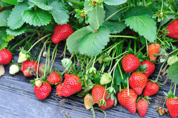 fresh strawberry grow at field