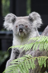 Koala bear (Phascolarctos cinereus)