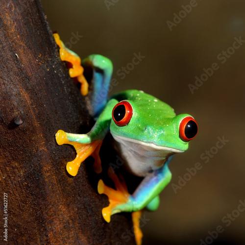 Fototapete red-eye frog  Agalychnis callidryas in terrarium