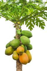 fresh papaya tree  isolated on white background