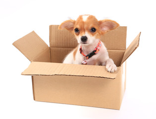 dog looks out of cardboard box, isolated on white