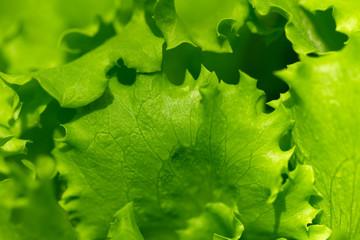 beautiful lettuce outdoors