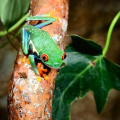 Wall Mural - red-eye tree frog  Agalychnis callidryas in terrarium