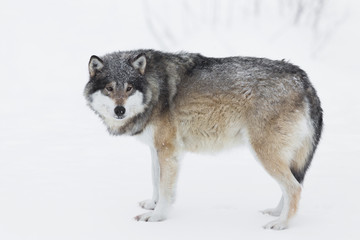 Deurstickers Wolf One Wolf in the Snow