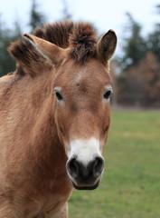 portrait du cheval de przewalski