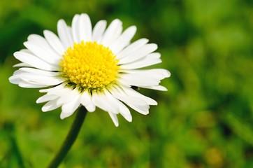 Macro shot of beautiful white daisy in grass.