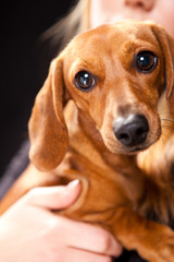 Cute Dachshund Dog Detail
