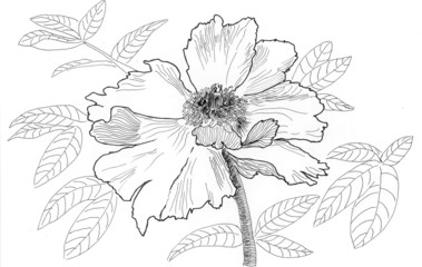 sketch illustration flower