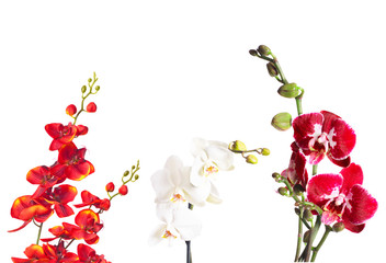 orchids isolated on a white background
