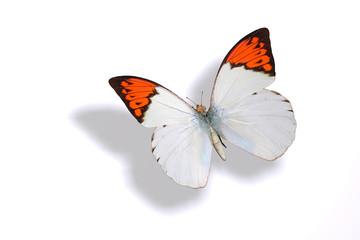 papillon 16
