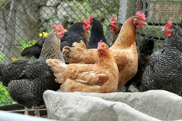 farm hens