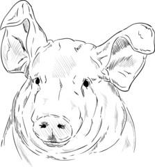 portrait pig