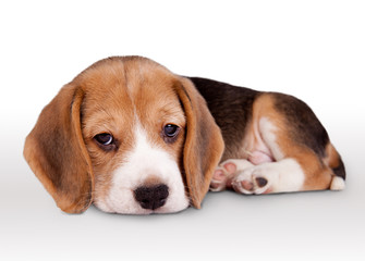 Tiny beagle puppy wit pitiful eyes