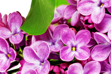 Foto op Aluminium Macro Beautiful Bunch of Lilac close-up.