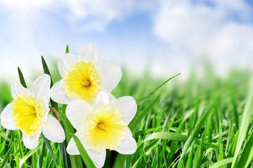 Self adhesive Wall Murals Macro Beautiful spring flowers : -white narcissus (Daffodil).