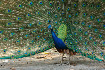 blue peacock in chiangmai zoo Thailand