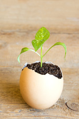 Young plant in egg