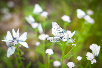 cabbage white butterflies on the grass