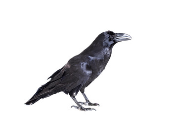 Common Raven (Corvus corax), 28 years old, on white