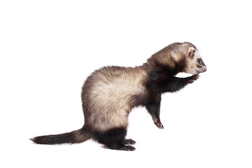 Ferret (10 years old) isolated over white background Wall mural