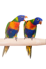 Two rainbow Lorikeets (Trichoglossus haematodus) on white