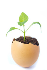 Young plant  in eggshell