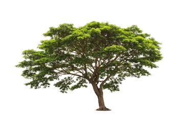 Rain tree (Samanea saman)