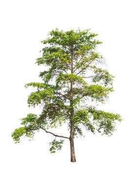 Wild Cinchona tree (Anthocephalus chinensis), tropical tree