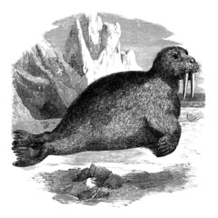 Walrus - Morse - Walross