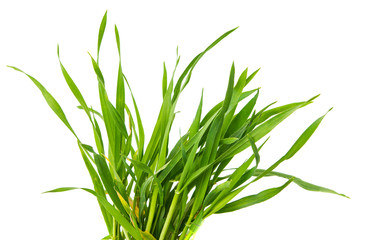Fresh green wheat grass isolated