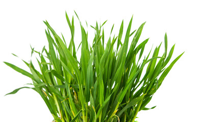 Foto auf Acrylglas Gras Fresh green wheat grass isolated