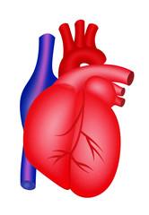 Herz, Organ