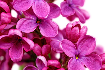 Poster de jardin Macro Beautiful Bunch of Lilac close-up