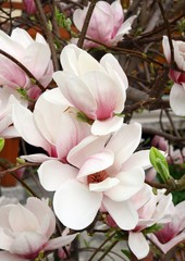 pink magnolia in blossom