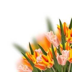 Floral background from  tulips