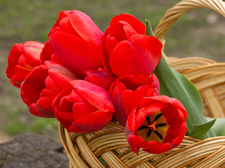 Red tulips in bucket on garden background
