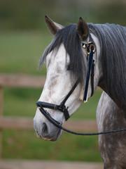 Grey Horse Head Shot