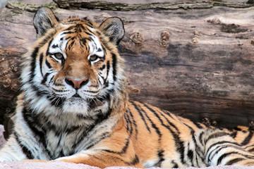 Siberian tiger (Panthera tigris altaica) lying