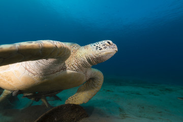 Female green turtle in the Red Sea.