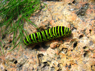 Caterpillar of the butterfly  machaon on the stone