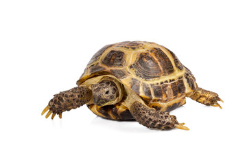 studio photo of little turtle isolated on white background