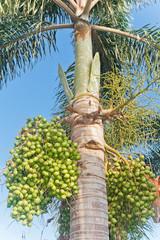Royal palm and seeds. ( Roystonea regia (HBK.)Cook.)