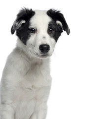 Close-up of a Border Collie, 3 months old, facing