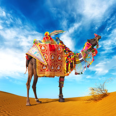 Camel in desert. Camel fair festival in India, Rajasthan