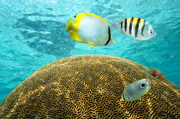 Tropical fish above brain coral