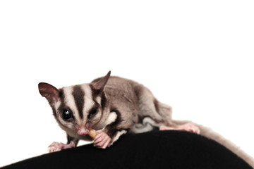 Small  sugar glider (Petaurus breviceps) isolated