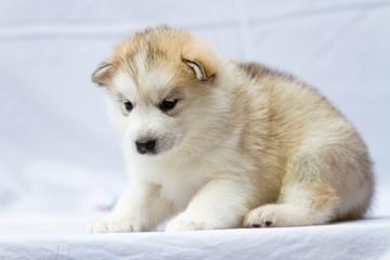The moon dog, Alaska sled dog