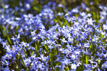 Blooming scilla flowers